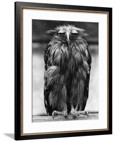 Javan Fish-Owl--Framed Art Print