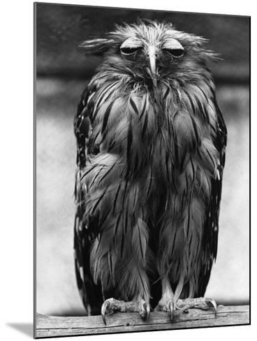 Javan Fish-Owl--Mounted Photographic Print