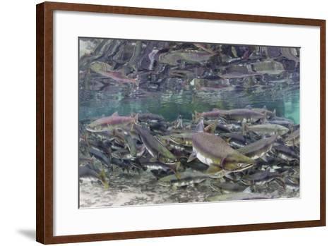 Underwater Spawning Salmon, Alaska-Paul Souders-Framed Art Print