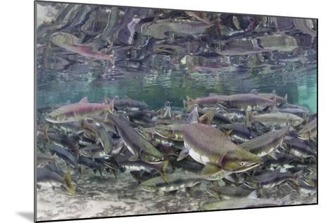 Underwater Spawning Salmon, Alaska-Paul Souders-Mounted Photographic Print