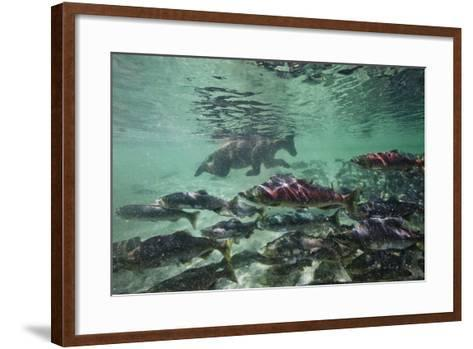 Underwater Brown Bear, Katmai National Park, Alaska-Paul Souders-Framed Art Print