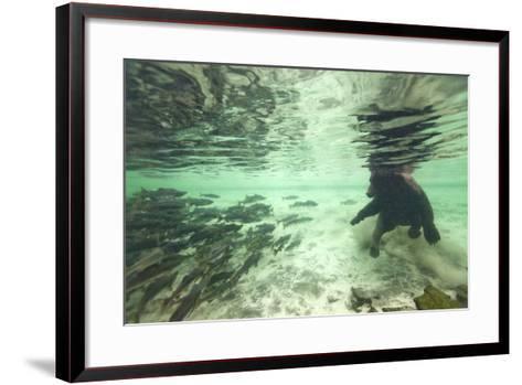 Underwater Brown Bear, Katmai National Park, Alaska-Paul Souders-Framed Art Print