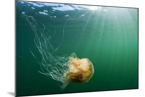 Lion's Mane Jellyfish, Alaska-Paul Souders-Mounted Photographic Print