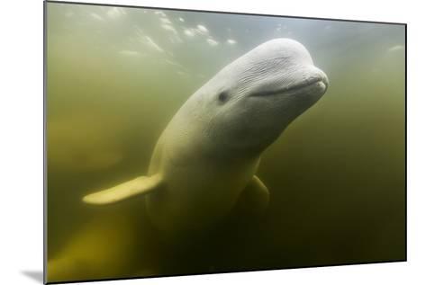 Beluga Whale, Hudson Bay, Canada--Mounted Photographic Print
