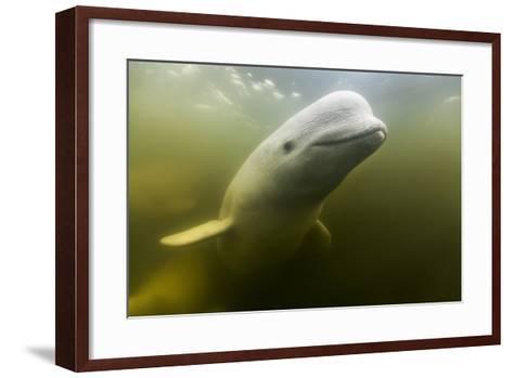 Beluga Whale, Hudson Bay, Canada--Framed Art Print