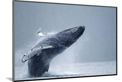 Breaching Humpback Whale, Alaska-Paul Souders-Mounted Photographic Print
