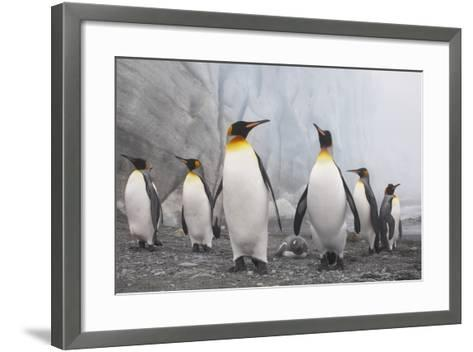 King and Gentoo Penguins on South Georgia Island--Framed Art Print