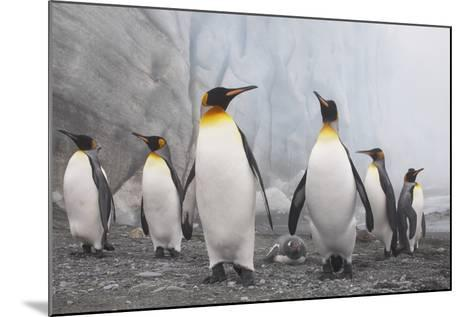 King and Gentoo Penguins on South Georgia Island--Mounted Photographic Print