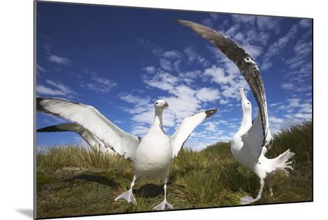 Wandering Albatrosses on South Georgia Island-Paul Souders-Mounted Photographic Print