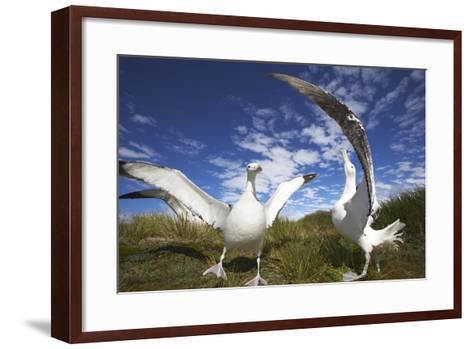 Wandering Albatrosses on South Georgia Island-Paul Souders-Framed Art Print