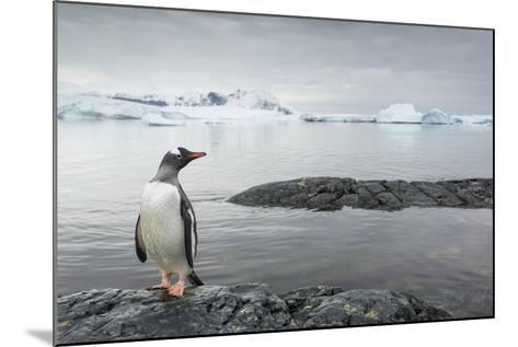 Gentoo Penguin on Cuverville Island, Antarctica-Paul Souders-Mounted Photographic Print