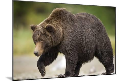 Grizzly Bear at Geographic Harbor in Katmai National Park-Paul Souders-Mounted Photographic Print