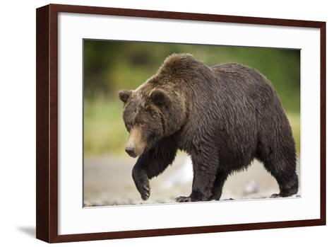 Grizzly Bear at Geographic Harbor in Katmai National Park-Paul Souders-Framed Art Print