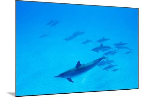 School of Spinner Dolphins on Hawaii's Kona Coast-Paul Souders-Mounted Photographic Print
