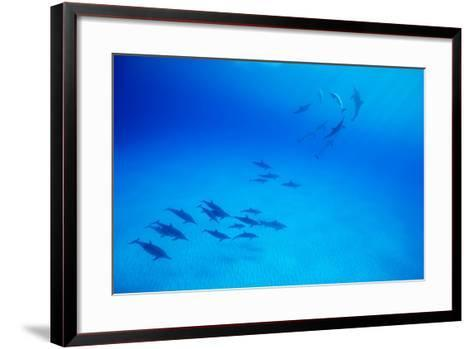 School of Spinner Dolphins on Hawaii's Kona Coast-Paul Souders-Framed Art Print