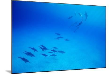 School of Spinner Dolphins on Hawaii's Kona Coast-Paul Souders-Mounted Photographic Print