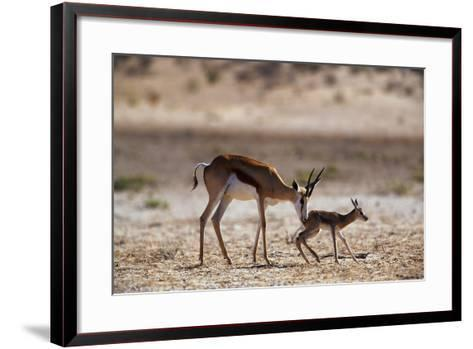 Springbok Mother with Newborn Calf-Paul Souders-Framed Art Print