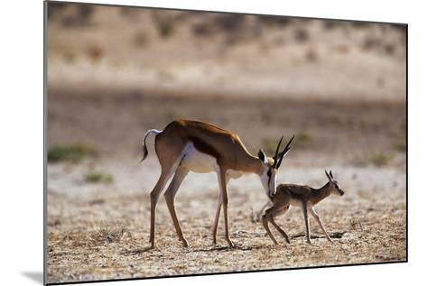 Springbok Mother with Newborn Calf-Paul Souders-Mounted Photographic Print
