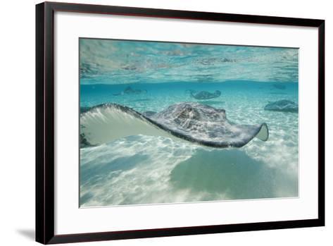 Southern Stingrays at Stingray City-Paul Souders-Framed Art Print