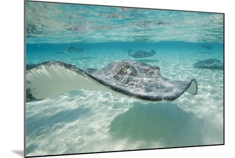 Southern Stingrays at Stingray City-Paul Souders-Mounted Photographic Print