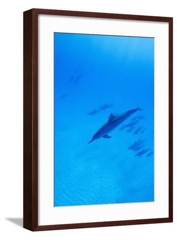 Spinner Dolphins Underwater-Paul Souders-Framed Art Print