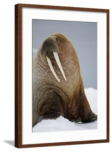 Walrus Resting on Iceberg in Bjornbukta Bay-Paul Souders-Framed Art Print