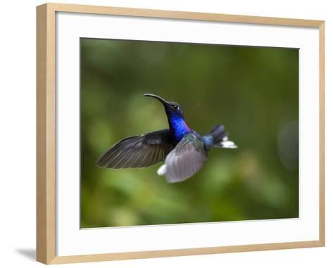 Violet Sabrewing Hummingbird in Flight-Paul Souders-Framed Art Print