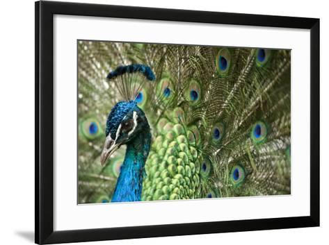 Male Indian Peacock in Costa Rica-Paul Souders-Framed Art Print