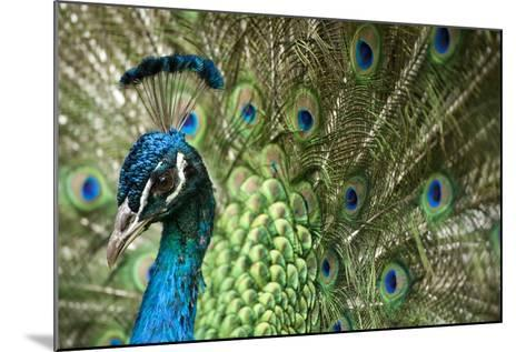Male Indian Peacock in Costa Rica-Paul Souders-Mounted Photographic Print