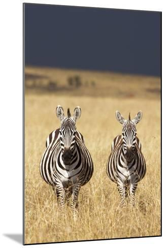 Burchell's Zebras on Savanna Below Stormy Sky-Paul Souders-Mounted Photographic Print