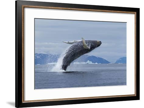 Humpback Whale Calf Breach in Disko Bay in Greenland-Paul Souders-Framed Art Print