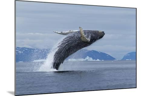 Humpback Whale Calf Breach in Disko Bay in Greenland-Paul Souders-Mounted Photographic Print