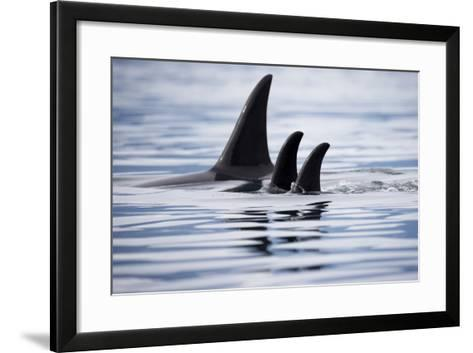 Pod of Orca Whales in Stephens Passage-Paul Souders-Framed Art Print