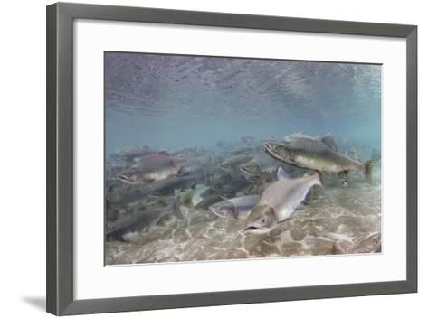 Spawning Salmon at Kinak Bay in Katmai National Park-Paul Souders-Framed Art Print