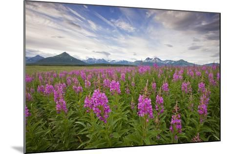 Fireweed in Meadow at Hallo Bay in Katmai National Park-Paul Souders-Mounted Photographic Print