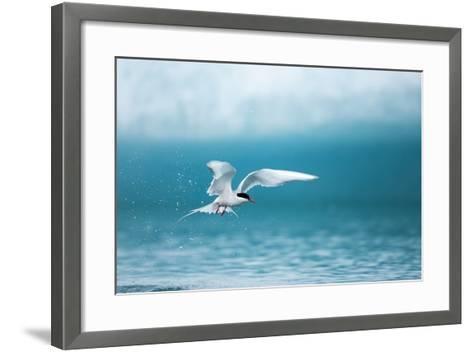 Arctic Tern Fishing in Jokulsarlon Lake-Paul Souders-Framed Art Print