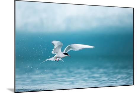 Arctic Tern Fishing in Jokulsarlon Lake-Paul Souders-Mounted Photographic Print
