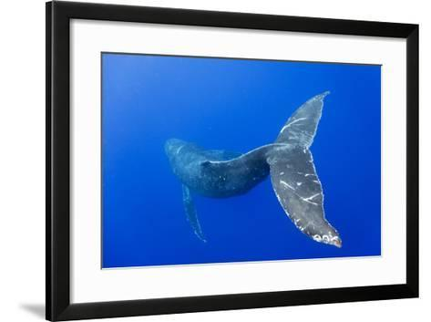 Humpback Whale Diving from Surface-Paul Souders-Framed Art Print