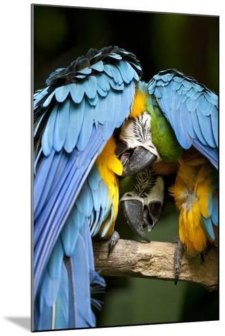 Blue-And-Gold Macaws at Zoo Ave Park-Paul Souders-Mounted Photographic Print