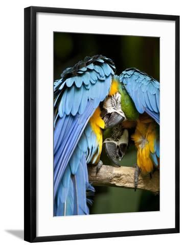 Blue-And-Gold Macaws at Zoo Ave Park-Paul Souders-Framed Art Print