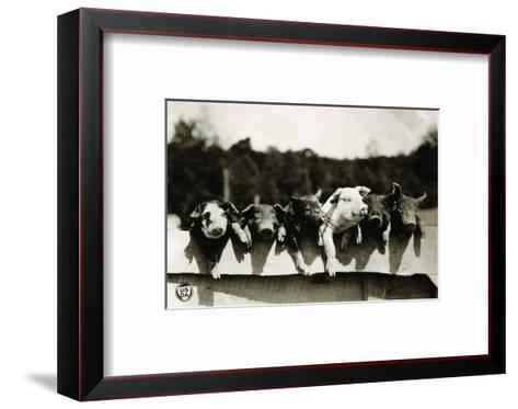 Row of Pigs Resting on Fence--Framed Art Print