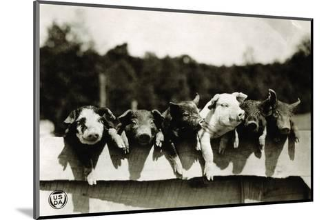 Row of Pigs Resting on Fence--Mounted Photographic Print