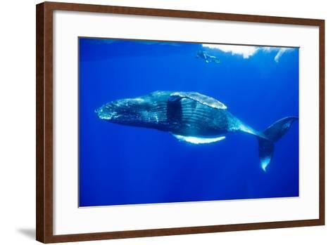 Snorkeler Swimming Above Humpback Whale-Paul Souders-Framed Art Print