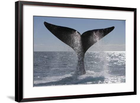 Southern Right Whale Off Peninsula Valdes, Patagonia-Paul Souders-Framed Art Print