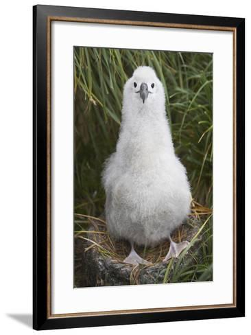 Gray-Headed Albatross Chick on South Georgia Island--Framed Art Print
