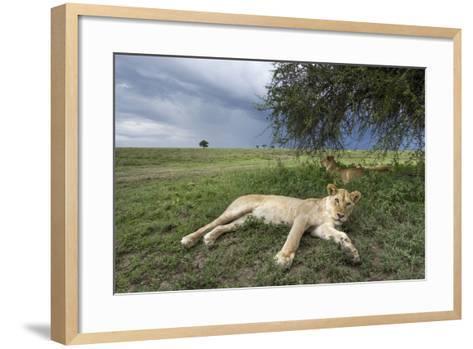 Lioness Resting on Savanna--Framed Art Print