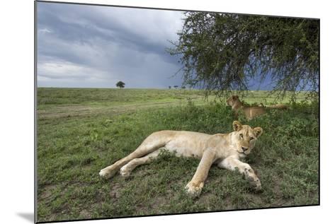 Lioness Resting on Savanna--Mounted Photographic Print