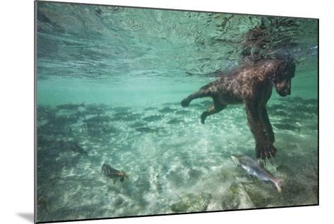 Underwater Brown Bear, Katmai National Park, Alaska--Mounted Photographic Print