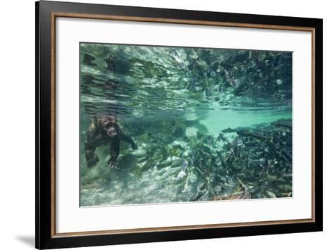 Underwater Brown Bear, Katmai National Park, Alaska--Framed Art Print