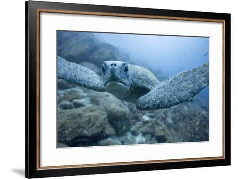 Green Turtle in the Galapagos Islands--Framed Art Print
